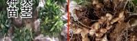 种黄精块茎应该要多大?