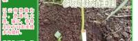 矮杆多芽滇重楼催芽技术_滇重楼属于多芽吗