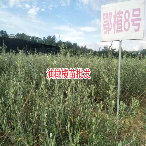 橄榄树苗_云南油橄榄树苗生产厂家-13769225013