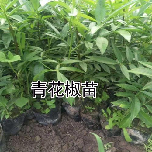 花椒苗批发_花椒苗价格_花椒(苗)亩产在多少?