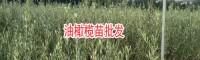 油橄榄苗木_适合在哪里种植-13769225013