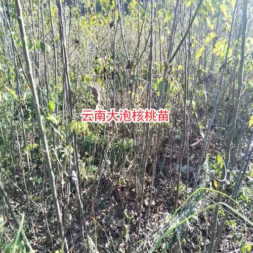 云南核桃苗基地_8518核桃的特点