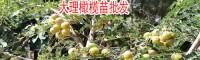 云南油橄榄苗适合几份种植?