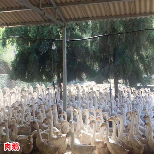 今日肉鹅价格行情走势_大理千羽肉鹅养殖农民专业合作社