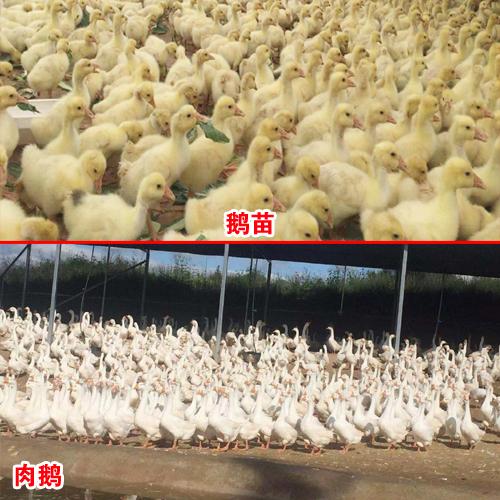 免费报价(玉溪千羽鹅苗)肉鹅收购价多少一斤?—保回收厂家