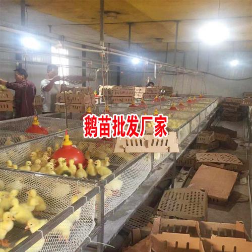 新肉鹅价格行情_千羽肉鹅养殖农民专业合作社