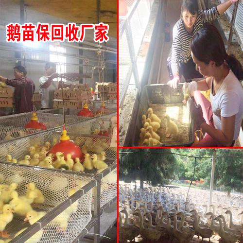 吃鹅肉市场_肉鹅的市场?
