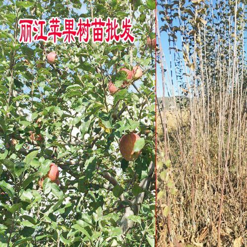 2018-2019云南苹果树苗(丽江)