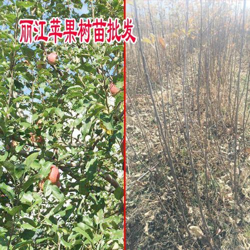 云南昭通红富士苹果树苗价格