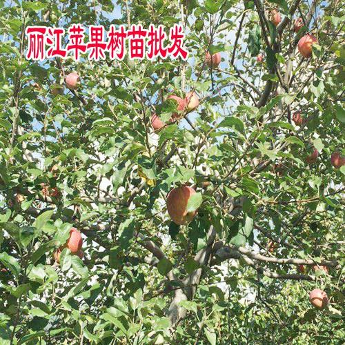 大理苹果苗_云南大理苹果苗_大理苹果苗圃