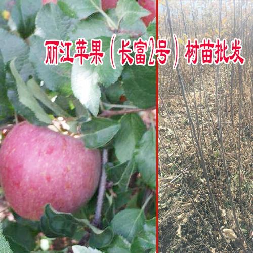 惠民短枝红富士苹果苗_短枝红富士苹果苗木