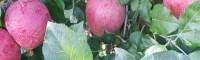 红富士苹果苗多少钱_日照红富士苹果苗_红富士苹果苗木图片