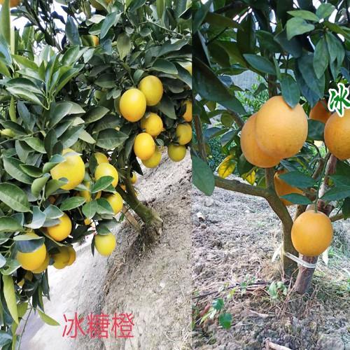 云南冰糖橙,产地沃柑,血橙种植基地