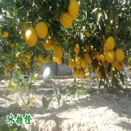 曲靖市师宗县冰糖橙多少钱一斤?