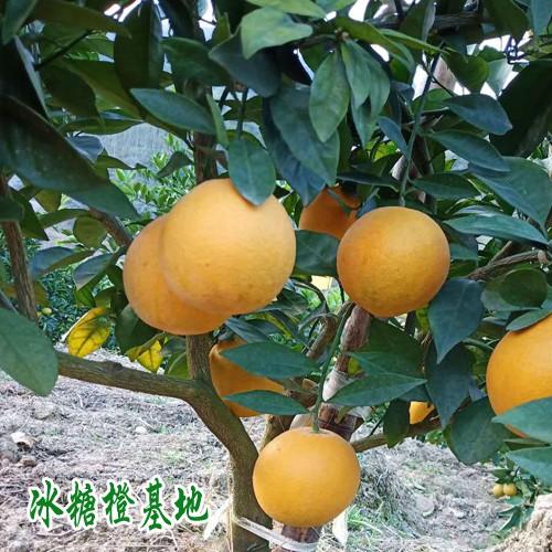 云南冰糖橙图片