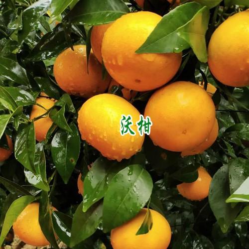 云南冰糖橙,产地沃柑,血橙种植基地选地施肥技术资料