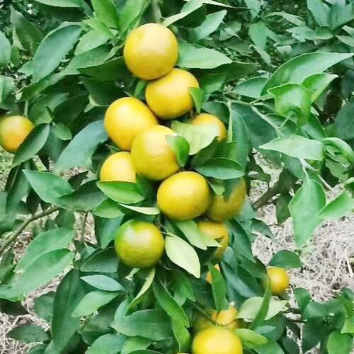 血橙什么时候开花结果-18213148885