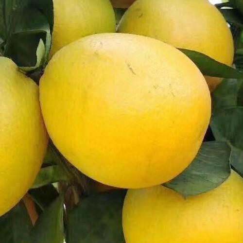 云南血橙图片