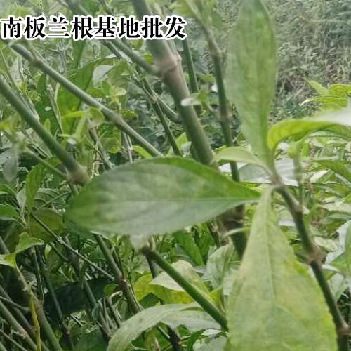 板蓝根种子多少元一斤