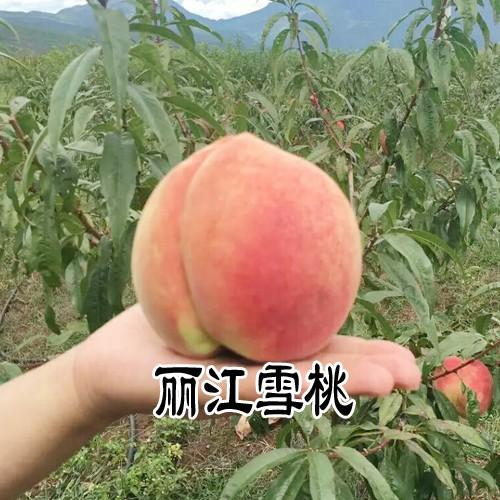 云南(滇)雪桃苗_适合云南种植的雪桃苗销售信息