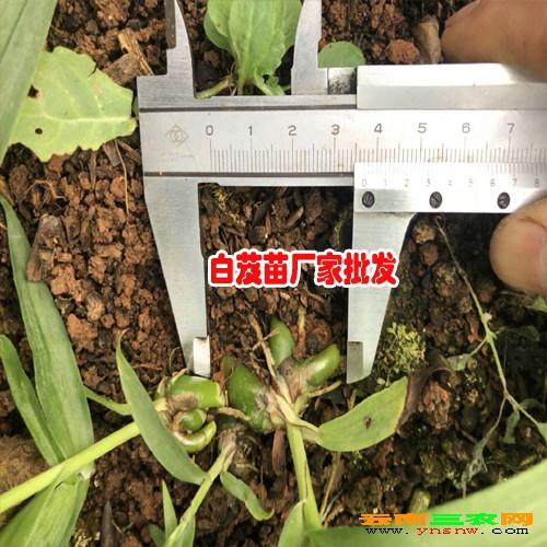湖北宜昌市五峰县三叉白芨种苗--0.93/棵,