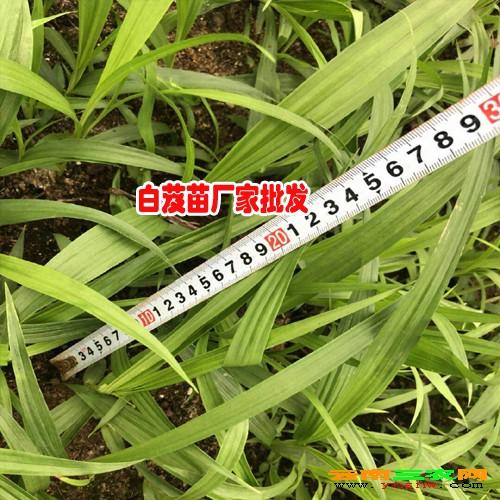 昆明市呈贡区三叉白芨种苗0.76/棵