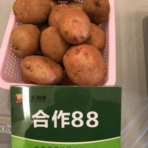 """洋芋新吃法_""""牛粪烤土豆"""""""