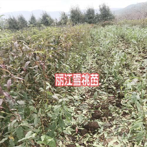 丰产丽江雪(冬桃)桃苗_丽江玉龙县雪桃树苗价格