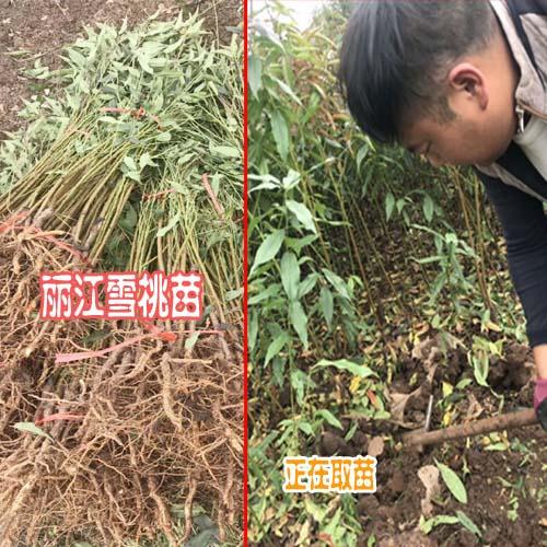 哪些地方适合种植丽江雪桃树(苗)
