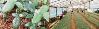 桂花、重楼、山豆根供应厂家