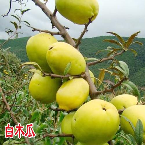 云南红心木瓜价格_单颗重1 - 1.5斤