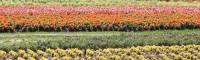 柳叶马鞭草、薰衣草、百日草、鼠尾草咨询