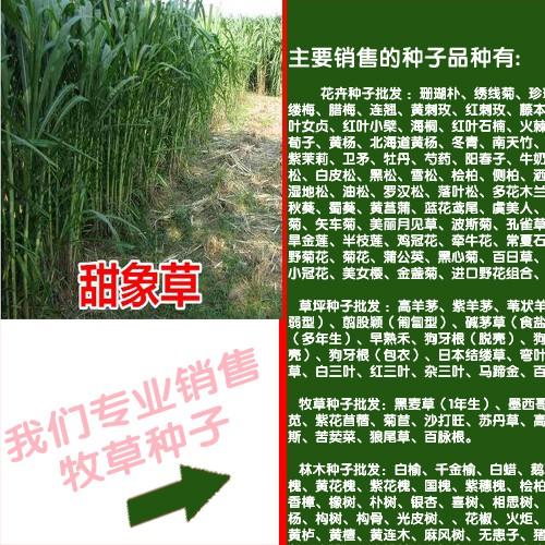 紫花苜蓿种子处理方法_牧草种子批发销售