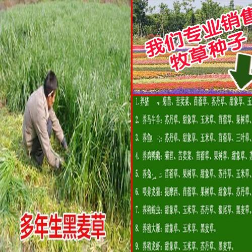 皇竹草是什么_牧草种子批发销售