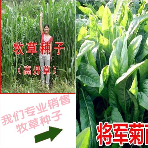 一亩苏丹草种子产量在多少?