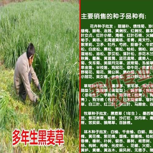 适合苏丹草种子温度与环境