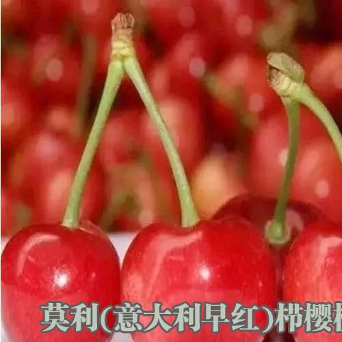 红宝石系列甜樱桃_云南大樱桃供应商