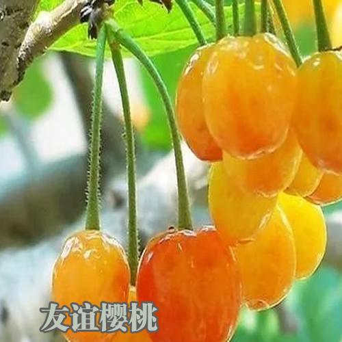 种植樱桃如何管理_樱桃种植管理技术资料