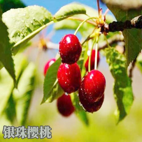 樱桃新品种大全(附图)