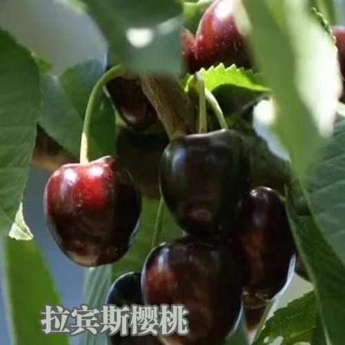 樱桃树适合在什么地方种植