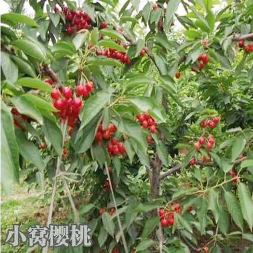 樱桃树品种选择如何区分_云南樱桃树新品种