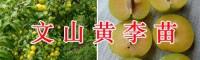 文山优质樱桃实生苗-蜂糖李子苗/黄金李苗栽培销售