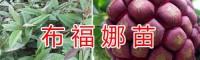 文山苹果苗批发价格信息-香脆黄李苗/云南野生水果驯化苗