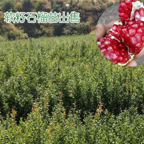 软籽石榴苗价格&黑籽石榴苗批发#软籽石榴苗多少钱一棵厂家