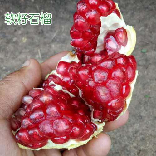 云南大理州宾川县软籽石榴多少钱一棵?