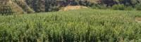 软籽石榴苗价格&黑籽石榴苗哪个品种好?