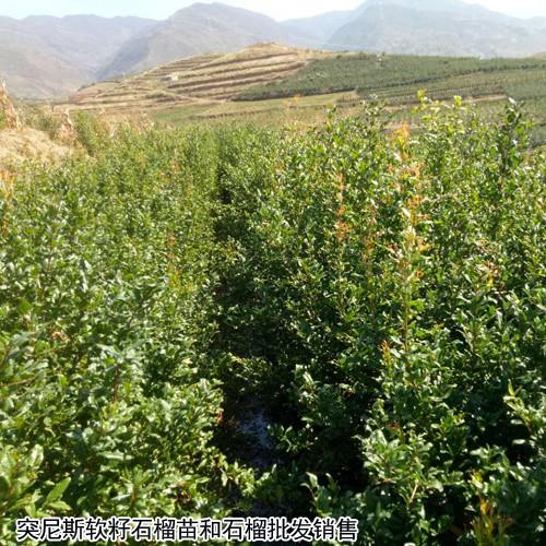 软籽石榴种植赚钱吗?