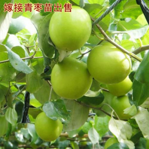 正宗台湾大青枣树苗价格