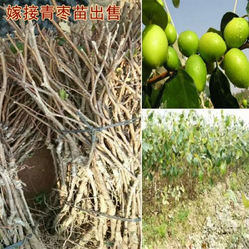 台湾大青枣树苗哪里有卖?_台湾大青枣树苗多少钱