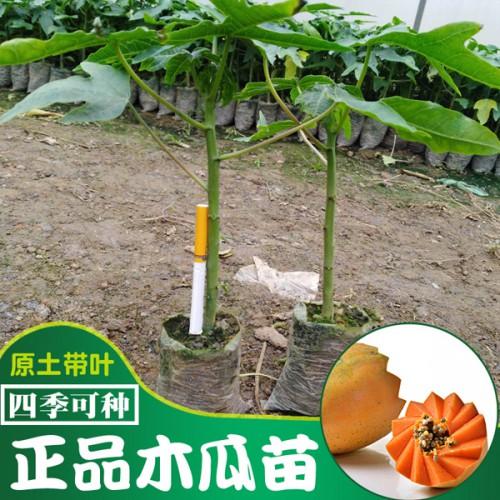 木瓜苗多少钱一棵?